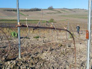 Vendanges-Mater-et-Filii_19-avril-2016-2